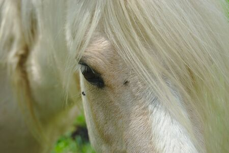 white horse mane look and mane close up Фото со стока - 124702910