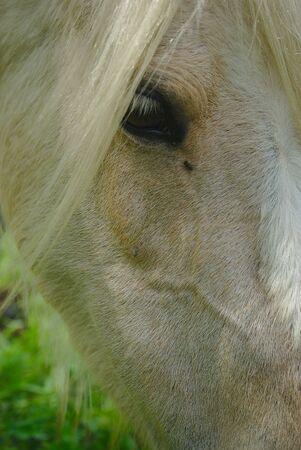 white horse mane look and mane close up Фото со стока - 124702911