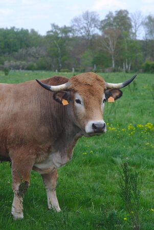 Aubrac cows, in their meadow in Auvergne, portraits Фото со стока - 124703038