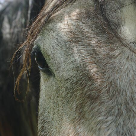 close up on a gray horse eye, sad look
