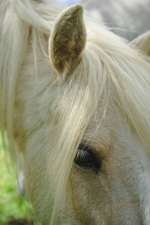 white horse mane look and mane close up Фото со стока - 124703168