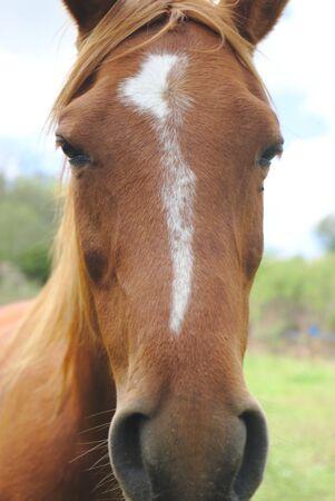bay horse portrait, in his meadow