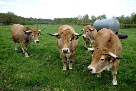 group of Aubrac cows, in their meadow in Auvergne.