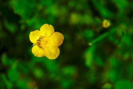 yellow buttercup flower. Ranunculus acris