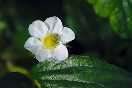 strawberry blossom in the spring, vegetable garden Standard-Bild - 124989317