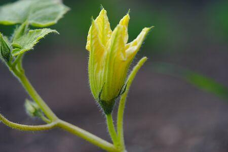 squash blossom, vegetable garden Standard-Bild - 124989321
