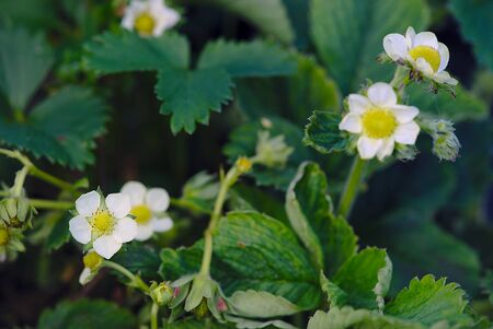 strawberry blossom in the spring, vegetable garden 写真素材