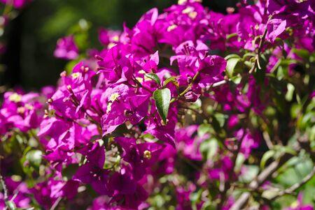 Branch of Bougainvillea spectabilis rose flowers. Nyctaginaceae Zdjęcie Seryjne