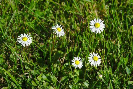 little daisies on a lawn, Bellis perennis 版權商用圖片