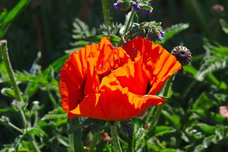 red poppy flower blooming, papaver