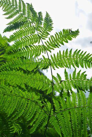 fern in backlight 写真素材