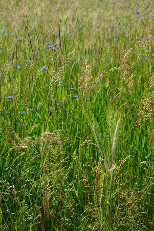 meadow vegetation, Auvergne, Puy-de-Dome