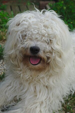 young crossed dog Bichon, Polish Shepherd. curly white hairs Imagens