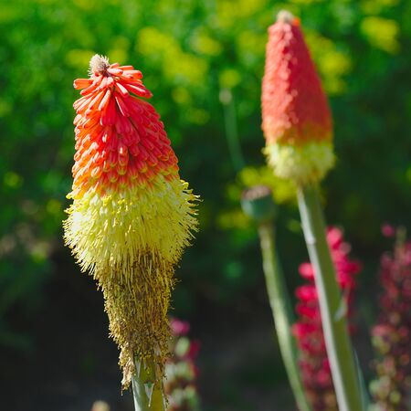 orange and yellow flowers of Kniphofia uvaria standing in a botanical garden, Liliaceae