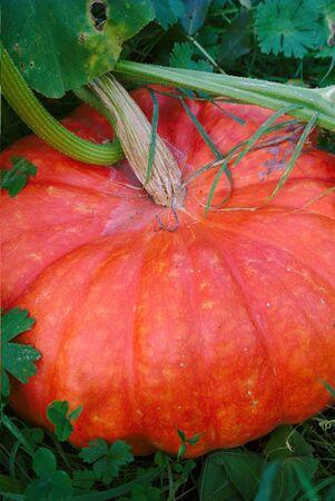 Citrouille d'Halloween dans son jardin