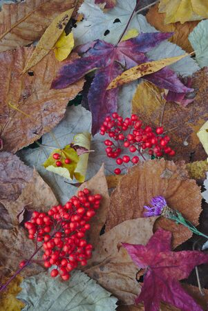 composition based on fallen leaves and red autumn berries. Reklamní fotografie - 125409697