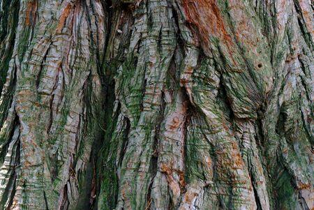 dry pine wood bark texture close-up, macro photography
