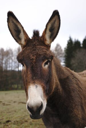 portrait of a brown-nosed donkey with white nose, with big ears 版權商用圖片