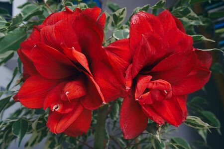 red Amaryllis flower duo