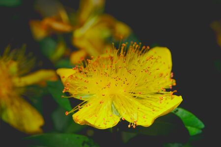 St. Johns wort has large yellow flower; Hypericum calycinum, hypericaceae