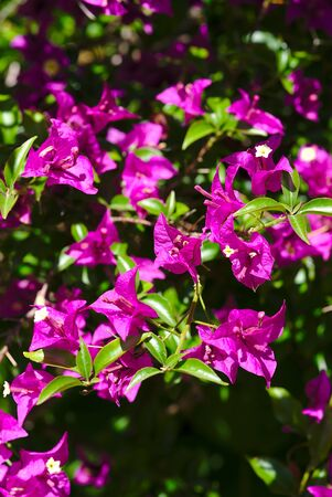 branch of pink bougainvillea flowers; Bougainvillea spectabilis Wild