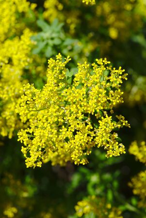 grove of yellow alyssies mountains flowers; alyssum montanum, Brassicaceae 写真素材 - 128655029