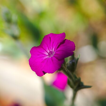 pink flower of garden Corncockle (Silene coronaria) 写真素材