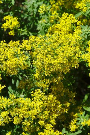 grove of yellow alyssies mountains flowers; alyssum montanum, Brassicaceae