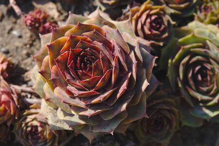 Hybrid Houseleek Flowers, Sempervivum 写真素材