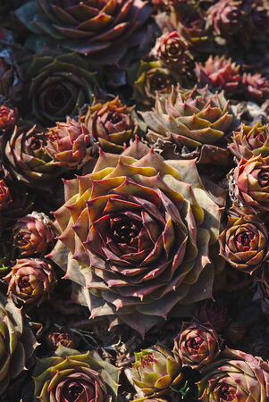 Hybrid Houseleek Flowers, Sempervivum 写真素材