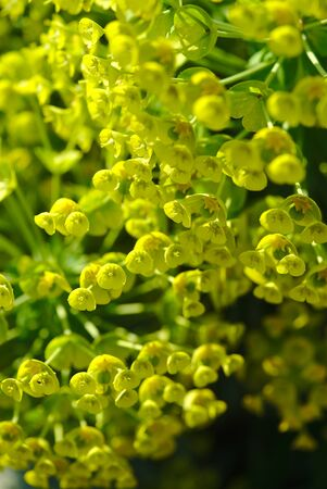 spring flowers of Waldsteins spurge, bright green yellow