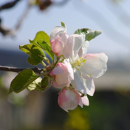 apple blossoms in spring close up