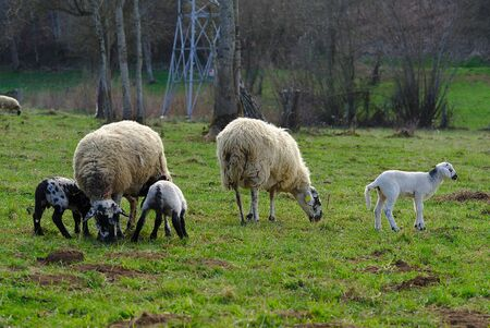 sheep in a meadow with their lamb in the Auvergne countryside 版權商用圖片
