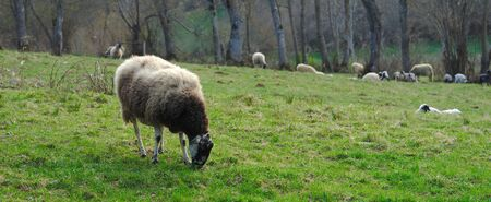 beige sheep outdoors in a meadow in Auvergne