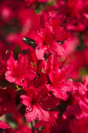 bouquet of Japanese Azaleas photographed in a botanical garden