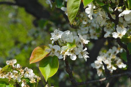 branch of apple blossoms in spring