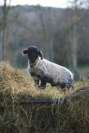 little black and white lamb on a pile of hay