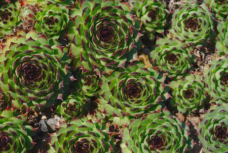 Hybrid Houseleek Flowers, Sempervivum Banco de Imagens
