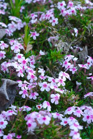 pink and white flowers grove of phlox (polemoniaceae)
