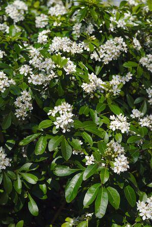 grove of white flowers of a Mexican orange tree. Choisya (rutaceae)
