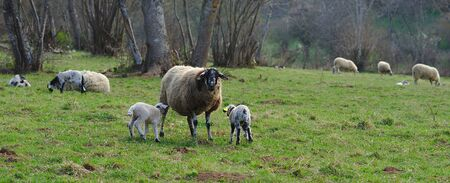 sheep in a meadow with their lamb in the Auvergne countryside 写真素材 - 128655324