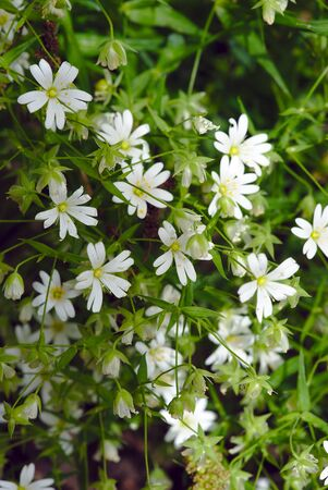 bush of white stellate flowers (Stellaria, Caryophyllaceae) or chickweed Фото со стока