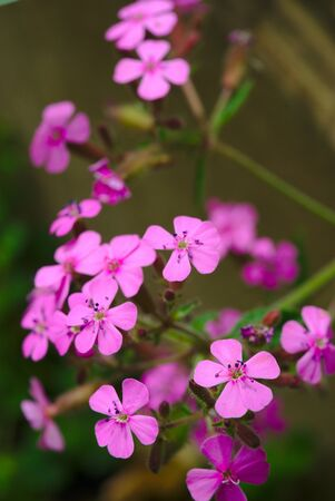 pink soapwort flowers called Basilica leaves (Caryophyllaceae). Soap herb