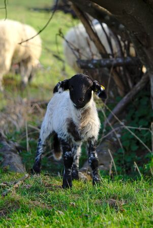 little black and white lamb in the meadow in Auvergne