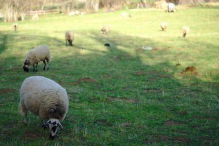 beige sheep outdoors in a meadow in Auvergne 写真素材 - 128655405