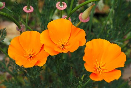 escholtzias or California poppies 写真素材 - 128655520