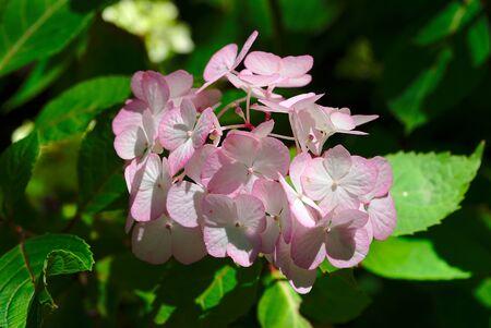 bouquet of pink and white hydrangea flowers; Hydrangea serrata