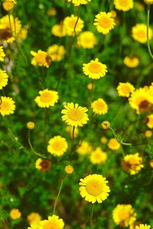parterre, grove of yellow Anthemis flowers. Banco de Imagens
