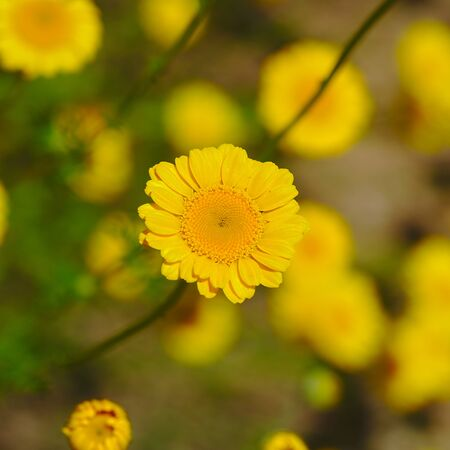 yellow Anthemis flower in close-up view.