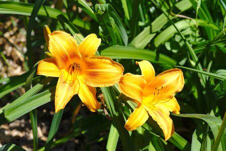 two orange flowers of Hemerocallis; Hemerocallis fulva